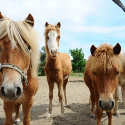 gang de poney
